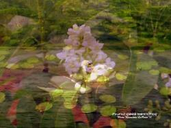 Swans White Lilac Lily Pads Forest Garden Pond 8.5 X 11 Hand Signed Artist Print