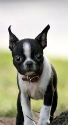 BOSTON TERRIER PUPPY GLOSSY POSTER PICTURE PHOTO dogs cute baby puppies pup 541