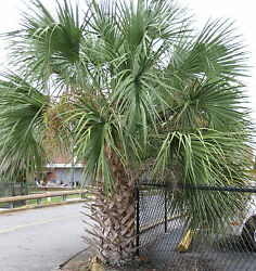 Sabal Palm Trees Palmetto 2 Pack - Cold Hardy 10 F - Florida Top Quality
