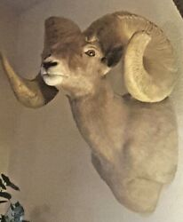 Desert Big Horn Sheep (replica)