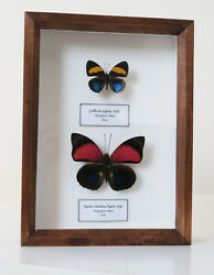 Real Peruvian Butterflies Callicore Aegina And Agrias Claudina Lugens Framed