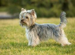 YORKSHIRE TERRIER DOG GLOSSY POSTER PICTURE PHOTO BANNER small england 4992