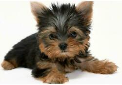 YORKSHIRE TERRIER DOG GLOSSY POSTER PICTURE PHOTO BANNER small england 4997