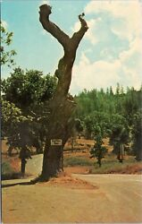 Hangman's Tree At Second Garrote, Mother Lode Country, California