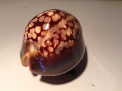 Cypraea Mauritiana, 92mm , Old Fugarty Collection, 65 Years Old, Gem, Beautiful