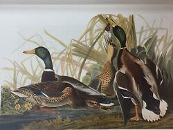 Original 1826-1838 Havell Edition MALLARD DUCKS Audubon (Elephant Portfolio)