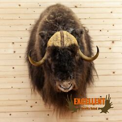 Excellent Musk Ox Taxidermy Shoulder Mount Sw10457