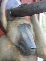 Vintage Taxidermy Baboon 1940andrsquos Unusual Hanging Wall Mount