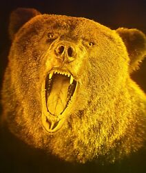11x16 28x40cm Grizzly - True 3d Laser Hologram Picture On Glass