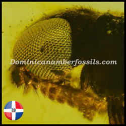 Exceptional Coleoptera Lymexylidae Fossil On Genuine Dominican Amber V1891