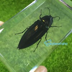 Real Insects Specimen Black Jewel Beetle Paperweight Kids Learning And Gift
