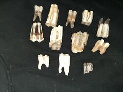Fossil Bison Teeth Set. Some Very Rare .some Over 3long
