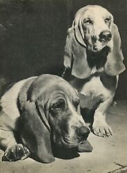 BASSET HOUND DOGS Vintage 75 year old Full Page Photo Print by YLLA