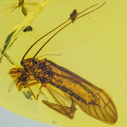 Very Unique Dominican Amber Fossil Authentic Megaloptera Sialidae Al02-039 😍 🤩