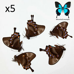 Papilio Ulysses Unmounted Butterflies 5 Pcs A1/a1- For Artwork And Collections