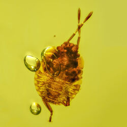 Dominican Amber Fossil Insect Top Quality Nymph Of Hemiptera Pentatomidae V1961
