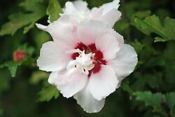 Rose Of Sharon Live Plant Large Root 6-24+ Tall Hibiscus Syriacus Flower Shrub