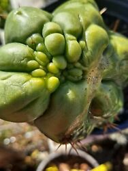 Echinopsis Cactus Monster No Variegated Or Astrophytum