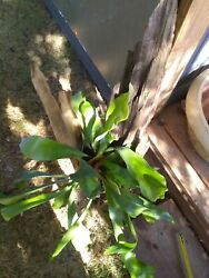 Large Platycerium Mounted Driftwood Staghorn Fern