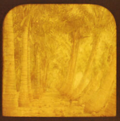 Antique Photo On Tissue. Stereoview Palm Grove.