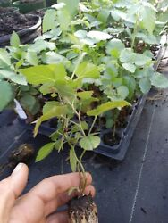 10 Triple Crown Thornless Blackberry Plants. Healthy Grown Pesicide Free Non Gmo