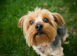 YORKSHIRE TERRIER DOG GLOSSY POSTER PICTURE PHOTO BANNER small england 4996