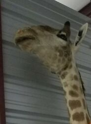 Giraffe Taxidermy Shouder Mount 8.5ft. Tall stored in Climate Controlled Storage