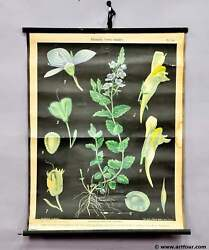 Antique Pull-down Wall Chart Image Life Cycle Of The Speedwell Flora Decoration