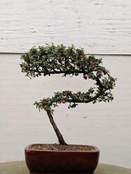 Cotoneaster Bonsai Tree - Curved Trunk Style