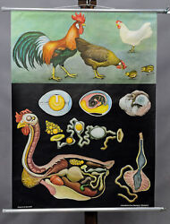 Vintage Picture Wall Chart Domestic Chicken Country Style Jung Koch Quentell