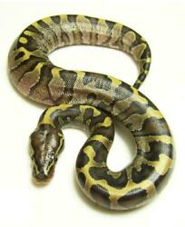 Ball Royal Python Glossy Poster Picture Photo Banner Africa Constrictor 4521