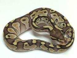 Ball Royal Python Glossy Poster Picture Photo Banner Africa Constrictor 4520