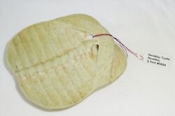 Neolithic S. E. Asian Fossilized Turtle Shell Stone Pendant Mil