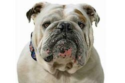 Bulldog Poster Picture Photo Banner English British Wrinkly Muscular Thick 4605