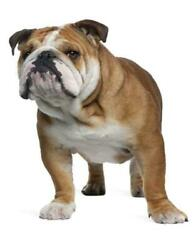 Bulldog Poster Picture Photo Banner English British Wrinkly Muscular Thick 4606
