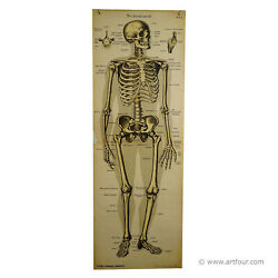 An Antique Anatomical Wall Chart Depicting The Human Skeleton