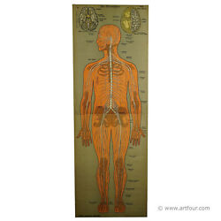 An Antique Anatomical Wall Chart Depicting The Human Nervous System