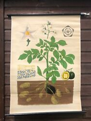 Vintage Potato Plant School Chart Botanical Roll Down Linen Backed Poster 1960and039s