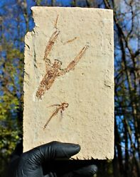 Flying Fish With Lobster Fossil Lebanon