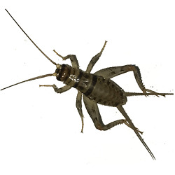 100 250 500 1000 Live Crickets Banded Guaranteed Live Delivery Over 25 F $18.99