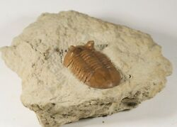 Russian trilobite ASAPHUS PUNCTATUS Ordovician fossil for preparation $105.00