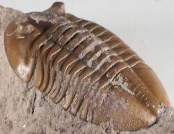 Russian raw trilobite Asaphus lepidurus Ordovician fossil for preparation. $150.00