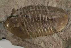 Russian raw trilobite Asaphus lepidurus Ordovician fossil for preparation. $135.00