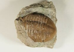 Russian raw trilobite Asaphus lepidurus Ordovician fossil for preparation. $110.00