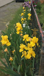 Lot 10 Bearded Iris Bulbs rhizomes All Different Colors. see Pics Ships Now