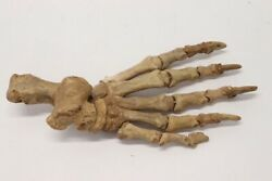 Great 13 Siberian Cave Bear Paw Fossil