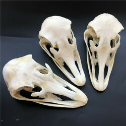 3 pcs Real Ostrich Skull collectable Animal Taxidermy educational specimens