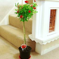 1 Standing Topiary Rose Tree @ Pot 2ft Garden House Plant Red Yellow Pink Flower