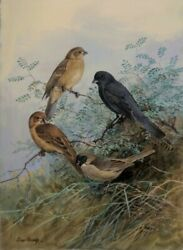 Allan Brooks Slate Blue Seed eater Original Watercolor with Gouache Ornithology