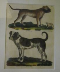 1816 Original Copperplate Engraving Colorized Old English Mastiff Dogs Frame 22
